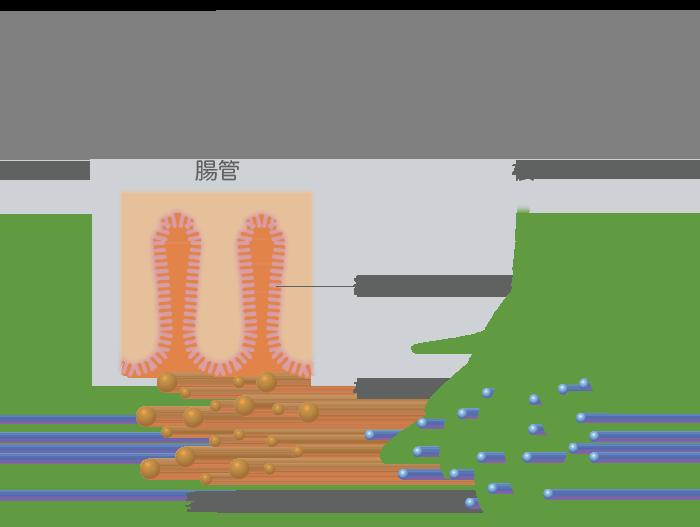 人の腸と植物の根